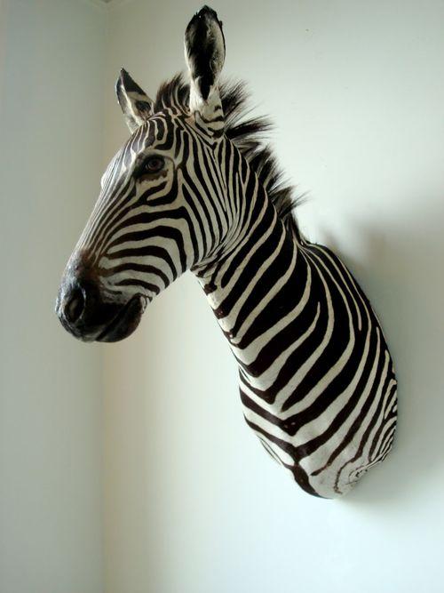 Perch zebra